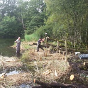 Planting reeds at Sandy Wyke, Windermere. August 2014