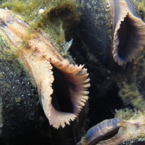 Pearl_mussel-1024x512